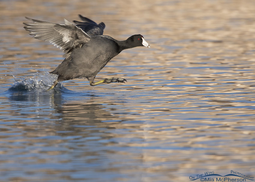 An aggressive American Coot in a chase
