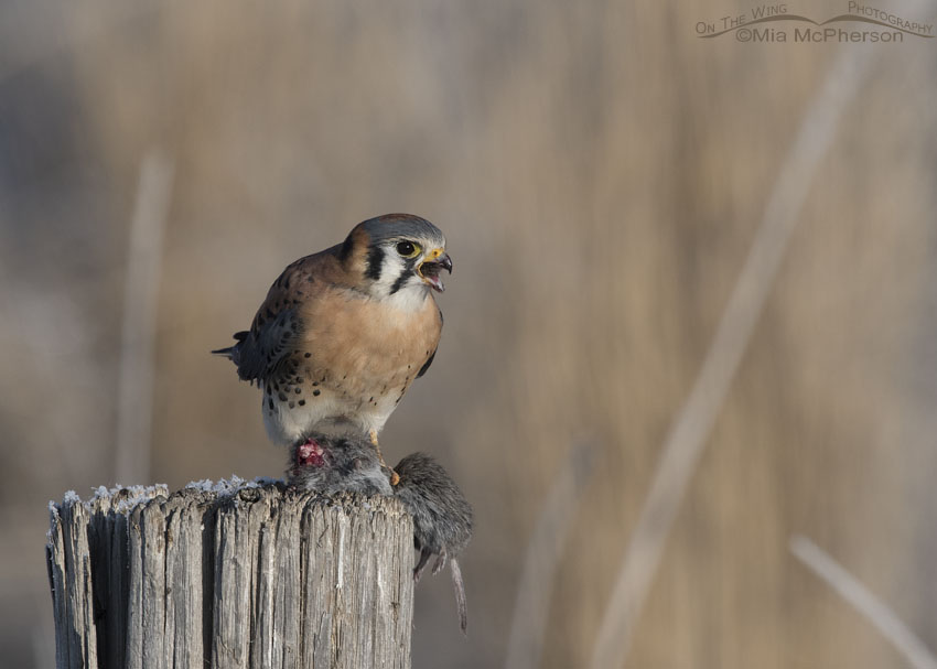 Male American Kestrel on a post with prey