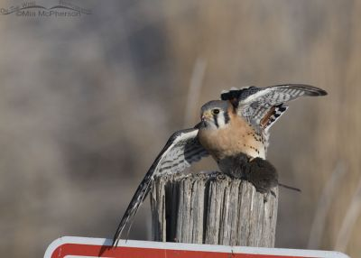 Male American Kestrel attempting to lift off with prey