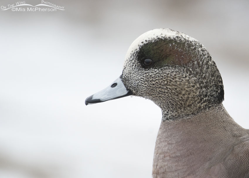 Low light portrait of an American Wigeon drake