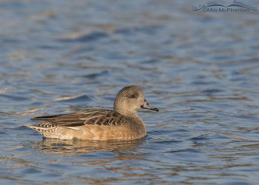 American Wigeon hen on a pond