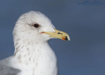 Winter California Gull portrait