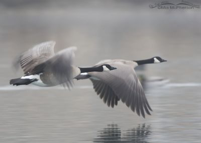 Canada Geese in flight in a thick fog
