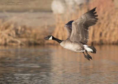 Canada Goose calling in flight in golden afternoon light