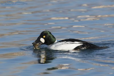 Drake Common Goldeneye with a crayfish