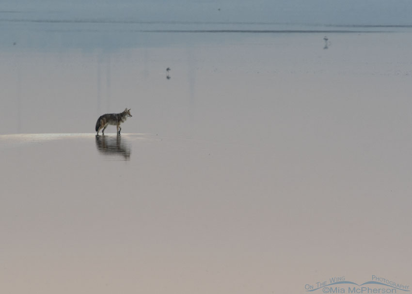 Coyote walking in the shallow water of the Great Salt Lake