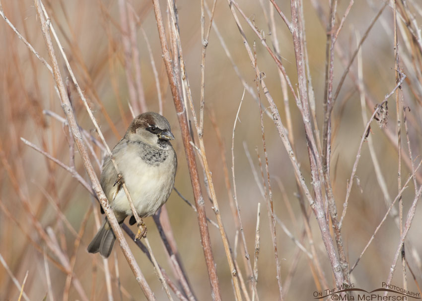 Male House Sparrow perched in a bush