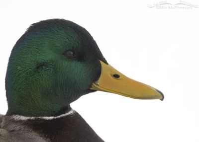 High key Mallard drake portrait