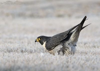 Peregrine Falcon post poop pose