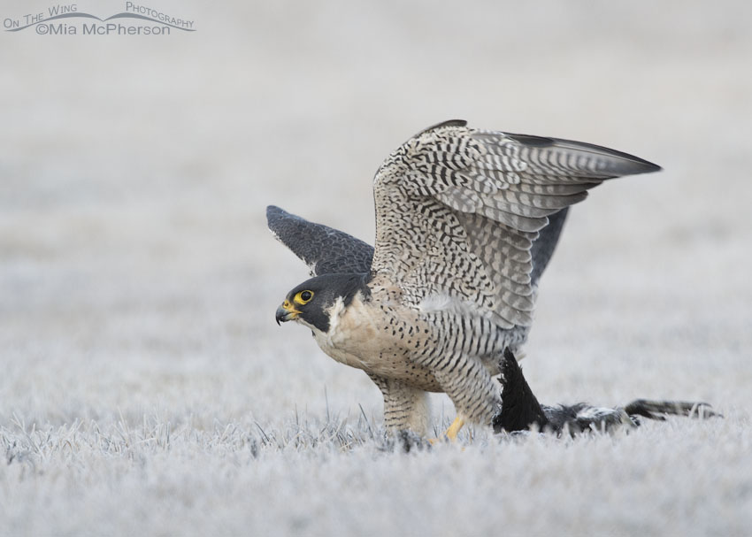 Peregrine Falcon with prey on frosty grass
