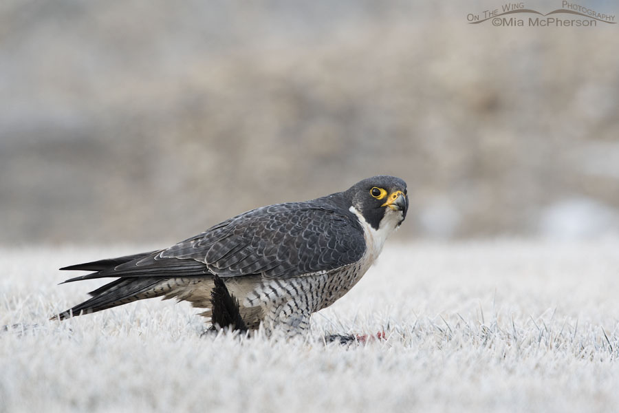 Peregrine Falcon giving me the stink eye