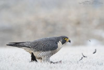Peregrine Falcon with coot feathers flying