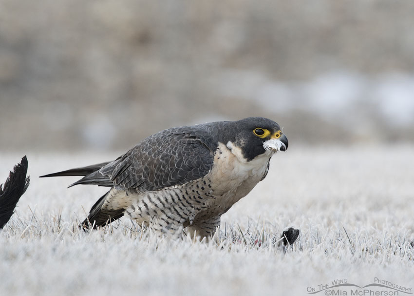 Peregrine Falcon with a coot under tail covert feather in its bill