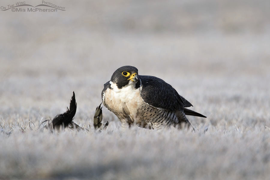 Peregrine Falcon and an American Coot