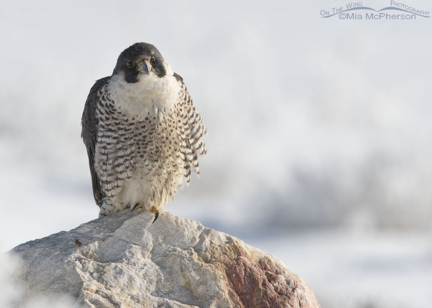 Peregrine Falcon on a cold winter morning