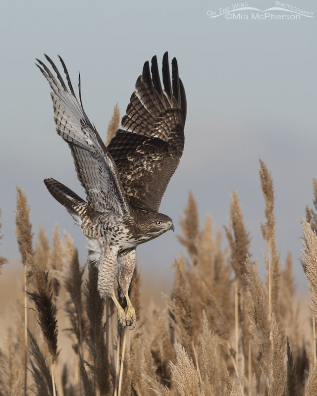 Immature Red-tailed Hawk in flight over a marsh