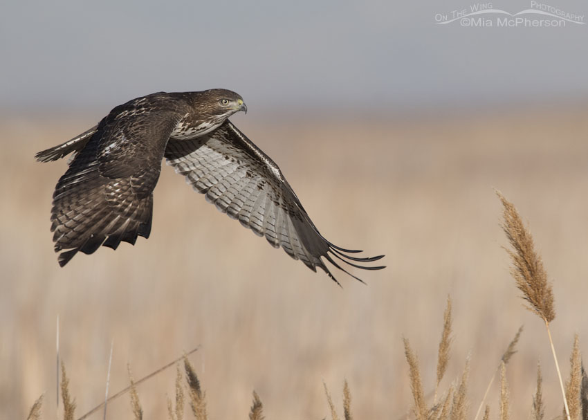 Immature Red-tailed Hawk flying over the marsh at Farmington Bay
