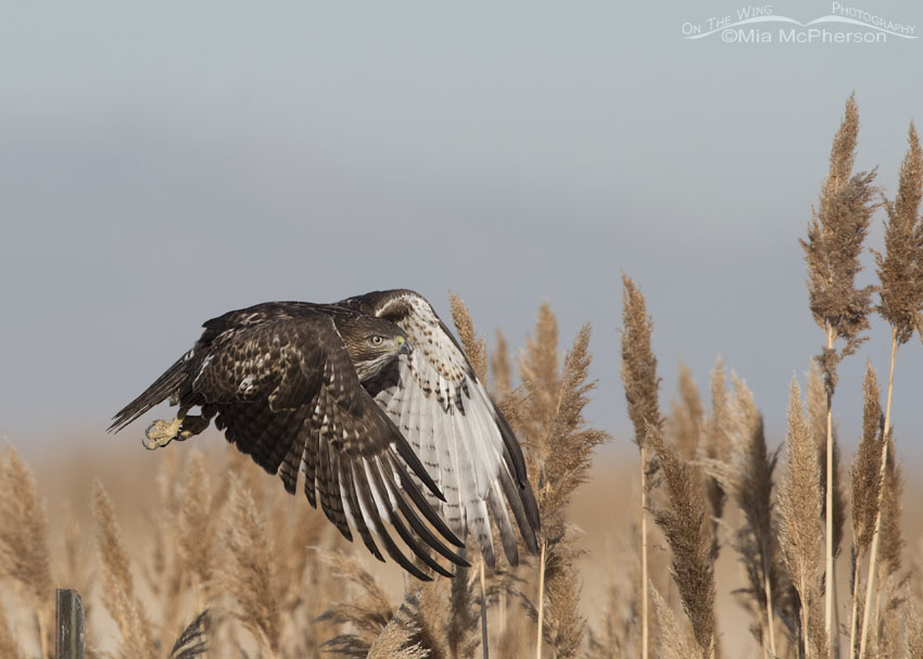 Immature Red-tailed Hawk immediately after lift off