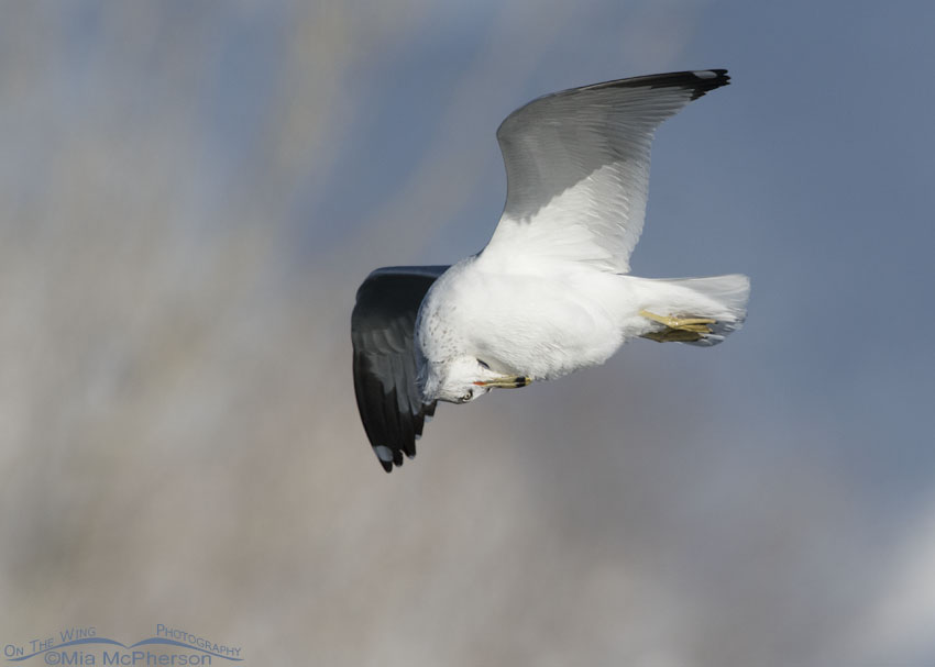 Ring-billed Gull preening breast feathers in flight
