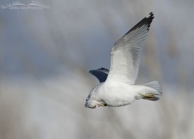 Preening Ring-billed Gull in flight