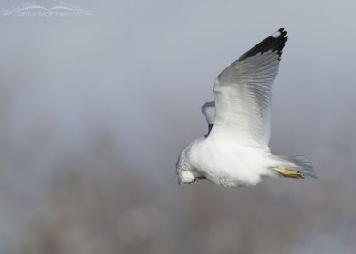 Ring-billed Gull preening in flight