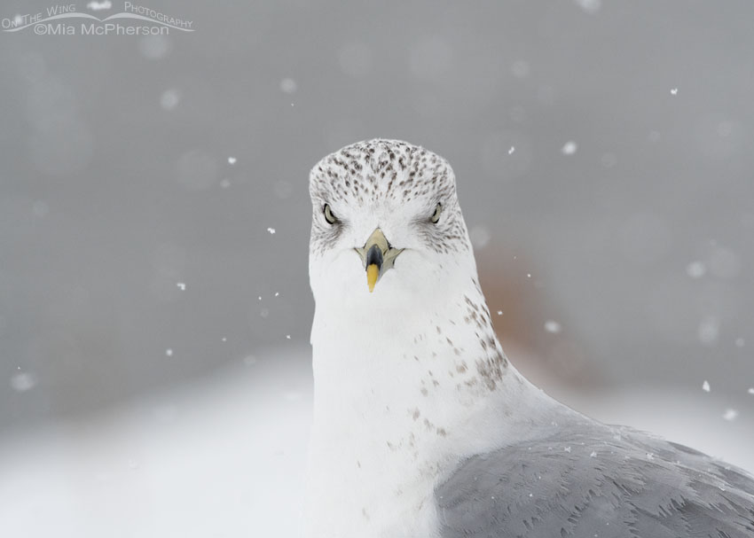 Head on Ring-billed Gull in a snow storm