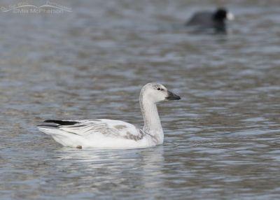 Immature Snow Goose in low light