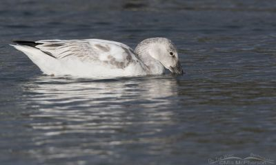 Immature Snow Goose taking a drink