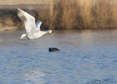 Immature Snow Goose calling in flight