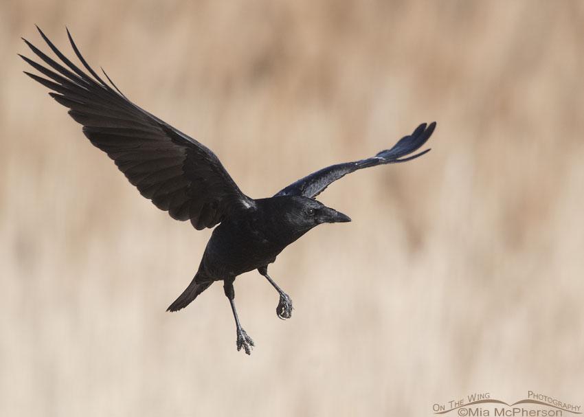 American Crow in flight at Farmington Bay WMA