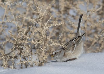American Tree Sparrow hunting for food