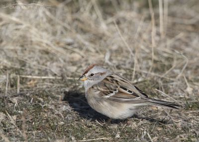 American Tree Sparrow foraging on the ground