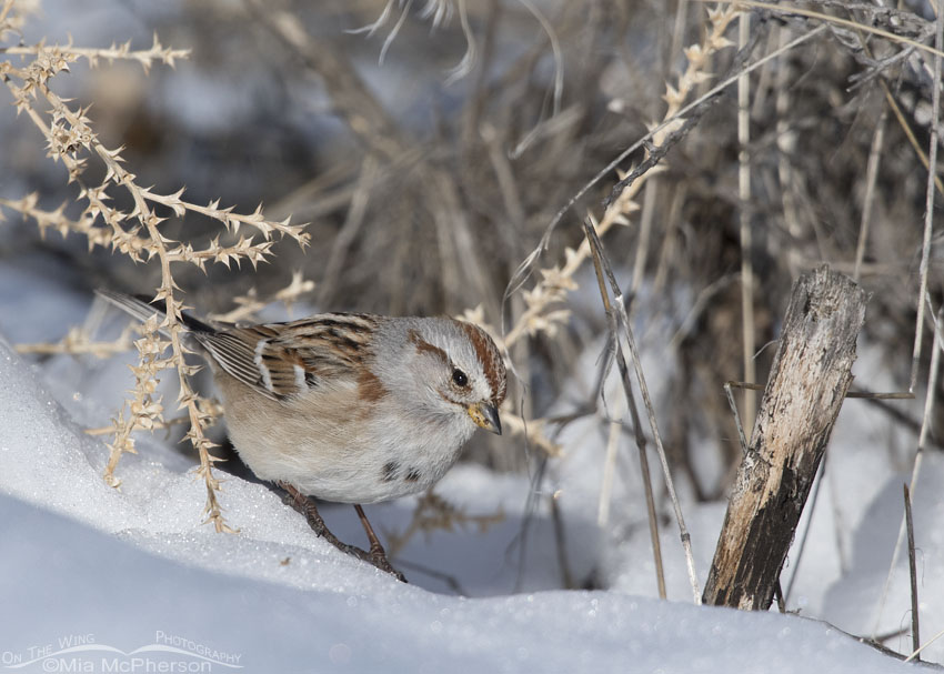 American Tree Sparrow in the snow