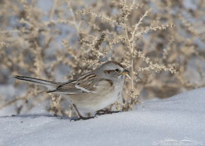 American Tree Sparrow on a bright winter day
