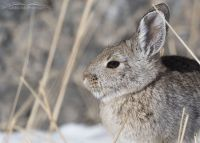 Desert Cottontail in northern Utah
