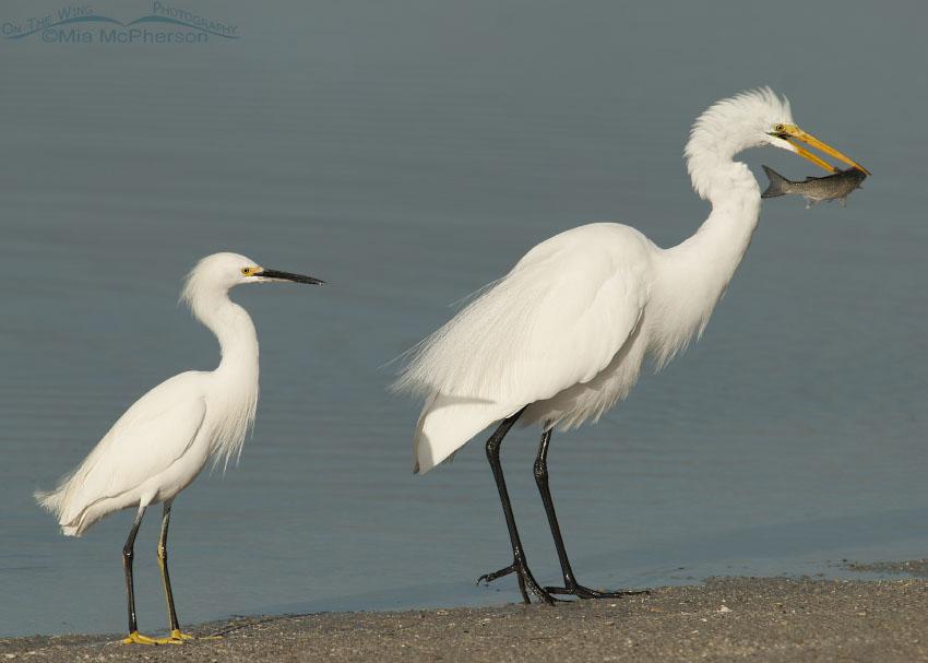 Snowy Egret - Great Egret size comparison