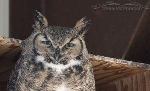 Great Horned Owl nest box thumbnail