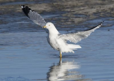 Ring-billed Gull immediately after bathing