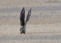 Rough-legged Hawk lift off