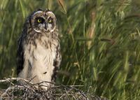 Short-eared Owl fledgling with a fly on its belly