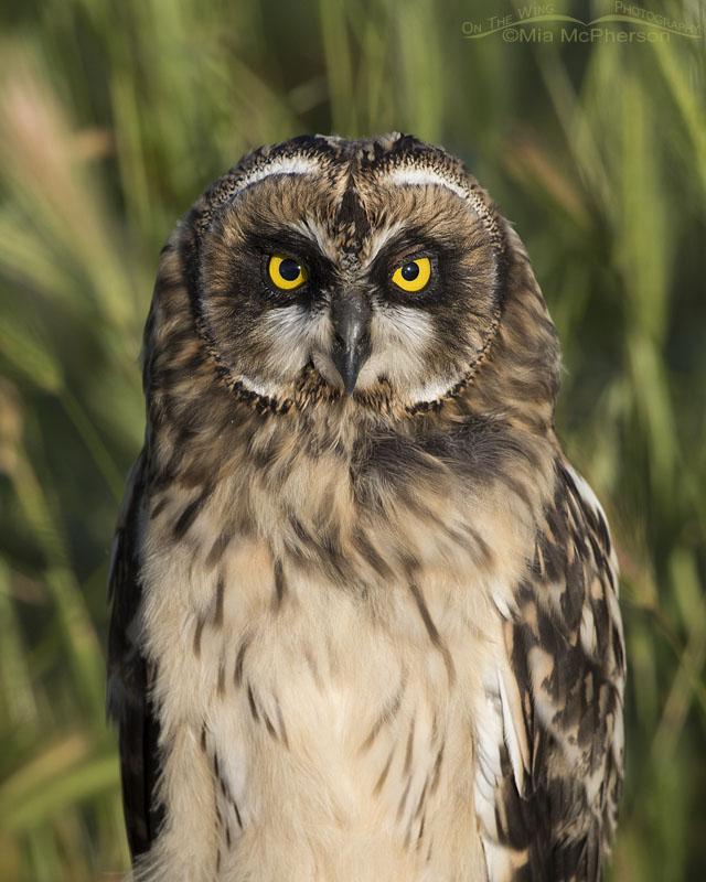 Portrait of a fledgling Short-eared Owl head on
