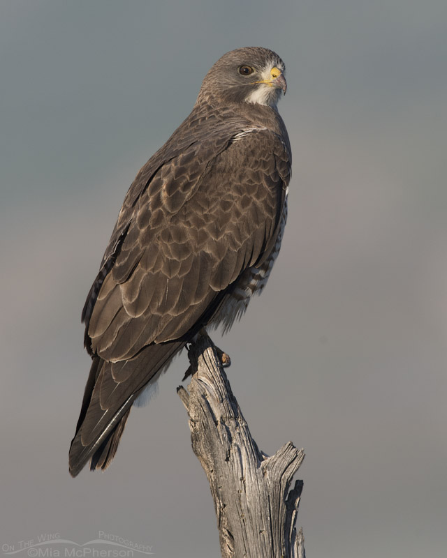 Swainson's Hawk giving me the stink eye
