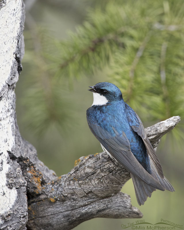 Perched Tree Swallow adult calling