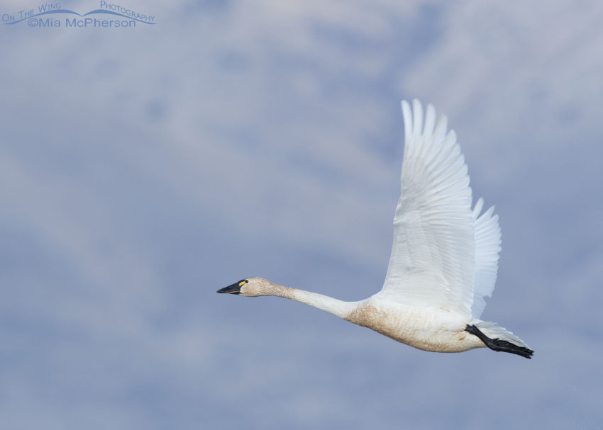 Adult Tundra Swan in flight on a February morning