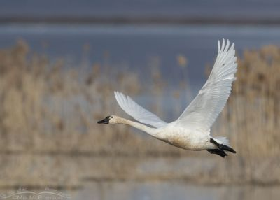 Tundra Swan after lifting off from the refuge