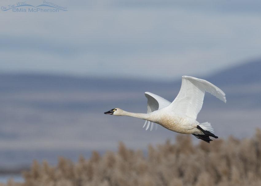 Tundra Swan flying over the marsh of Bear River MBR