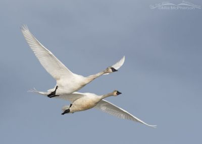 Immature and adult Tundra Swans in flight
