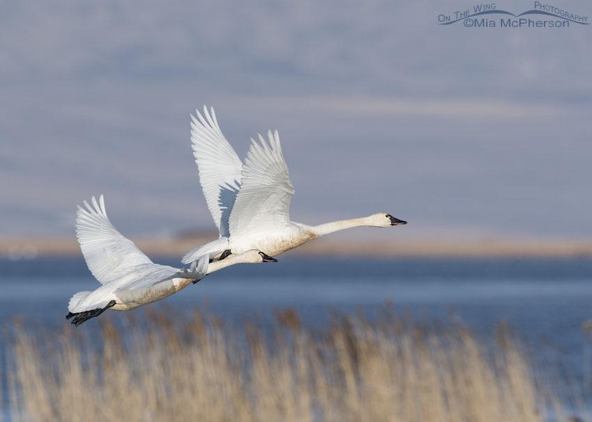 Tundra Swan pair in flight