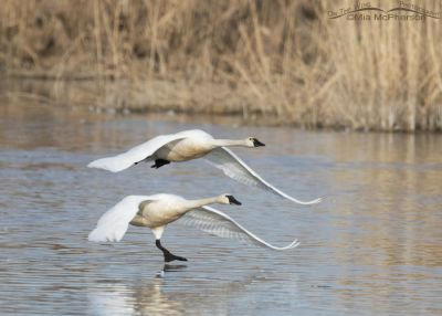 Adult Tundra Swans lifting off