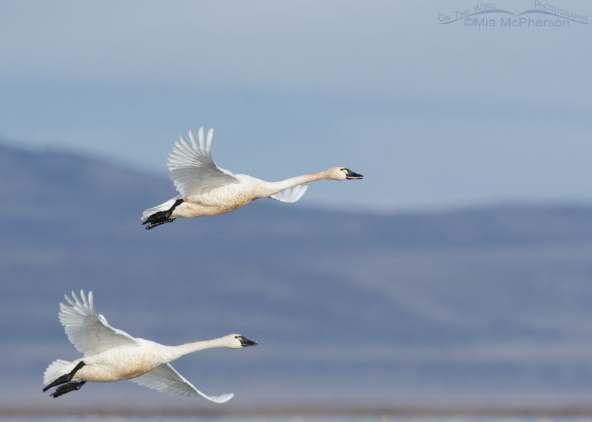 Adult Tundra Swans flying over the marshes at Bear River Refuge